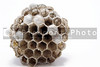 A paper wasps nest with live young inside combs.