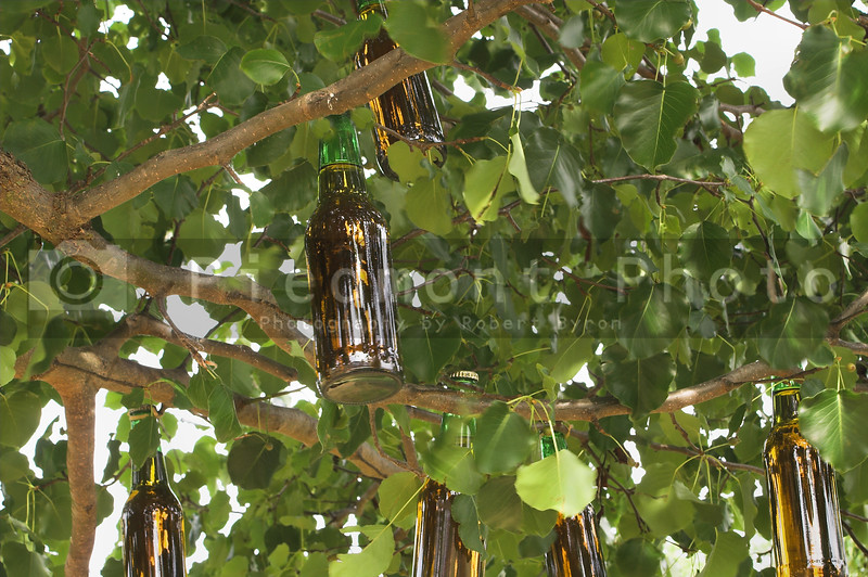 A beer tree ripe with fresh fruit.