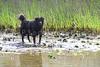 A labrador retriever and chow mixed breed dog.