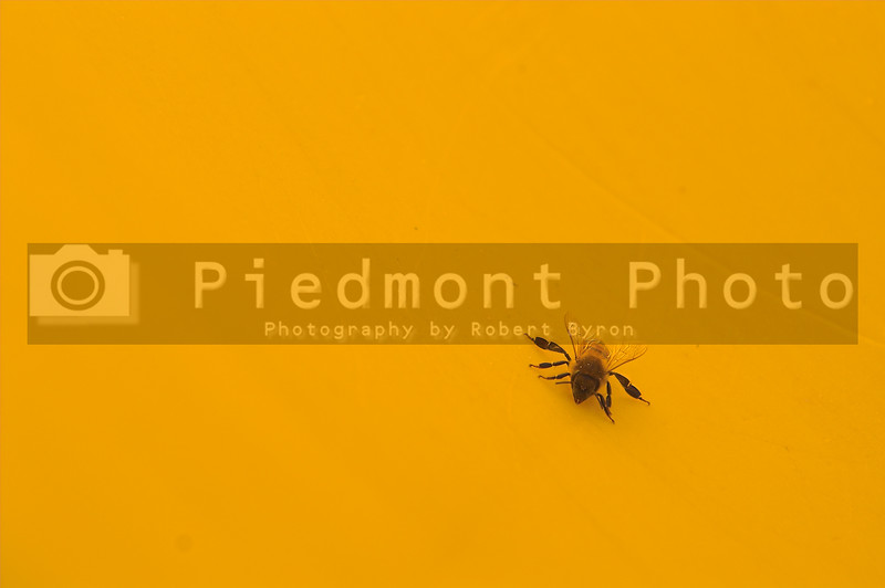 A yellow jacket or honey bee on a yellow background.