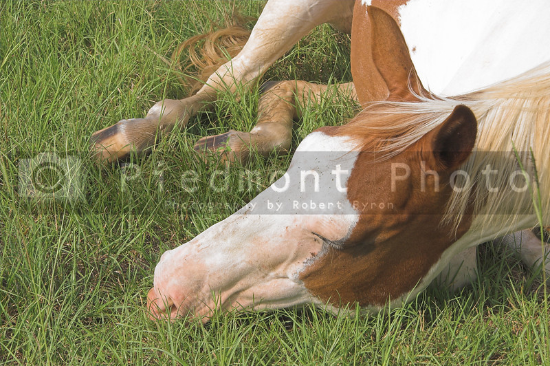 A tired horse laying in a grassy pastrure.