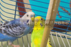 A pair of colorful and exotic tropical parakeets.