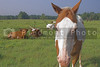 Farm Animals - A horse and longorn cattle.