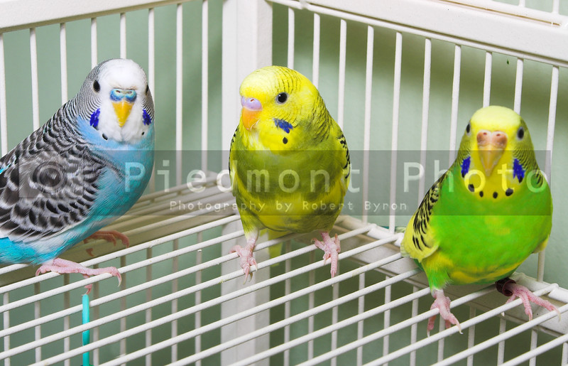 A set of colorful and exotic tropical parakeets.