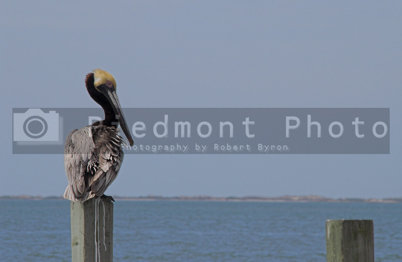 A perched pelican overlooking the ocean on a summer day.