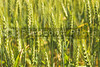A farm field of green winter wheat.