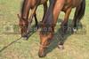A feeding female horse and her foal.