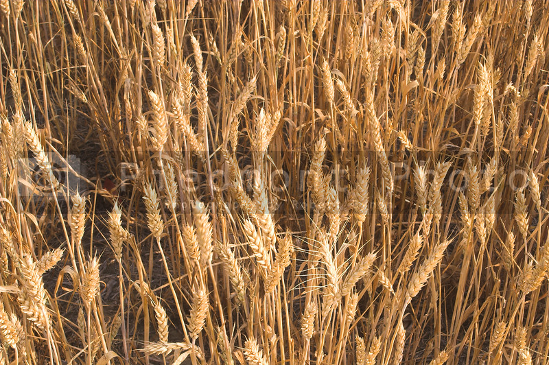 A field of golden wheat grains ready for harvesting.