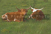 Longhorn cattle in a green grassy pasture.