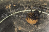 The deadly female black widow spider in her web.