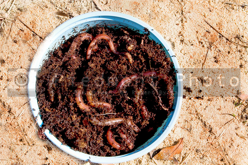 A container of fishing worms ready for a hook.