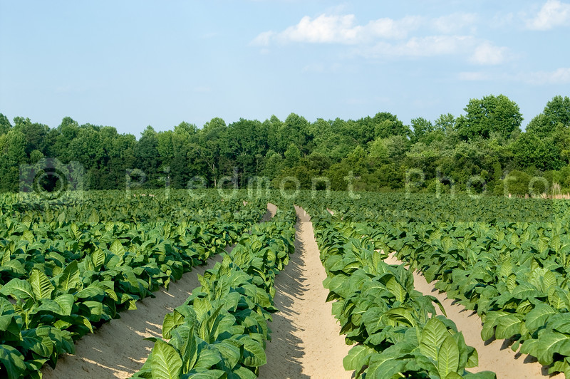 Healthy tobacco plants on a farm field.