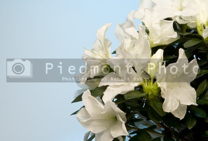 A white Azalea bush in a basket.