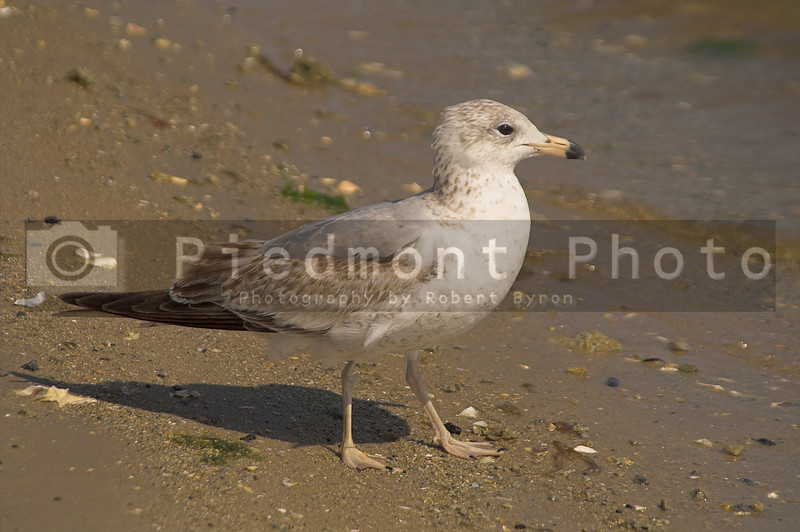 A seagull in the sand by the ocean.