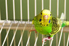 A small, colorful and exotic tropical parakeet.
