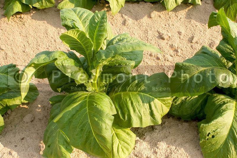 A healthy tobacco plant on a farm field.