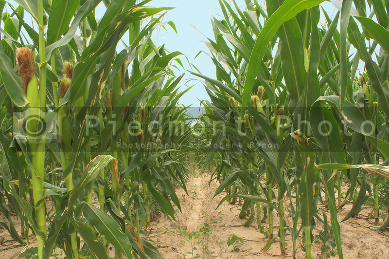 Assorted corn stalks in a large cornfield.
