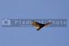 A turkey vulture in flight looking for food to scavange.