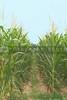 Assorted corn stalks in a large cornfield.