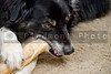 A border collie enjoying a juicy bone.