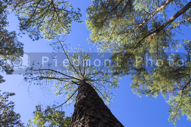 The overhead canopy of a pine forest.