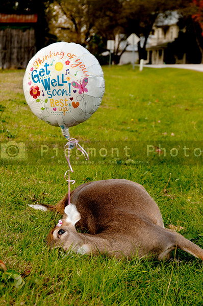 Deceased deer with a get well soon balloon