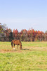 A horse grazing in a pasture on a farm.