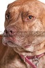 Pit Bull Mix Dog