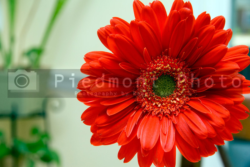 A beautiful and colorful Red Gerbera Daisy