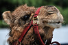 A close-up image of a dessert camel