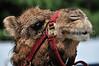 A close-up image of a dessert camel