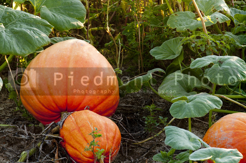 A pumpkin patch with fresh ripe vegetables