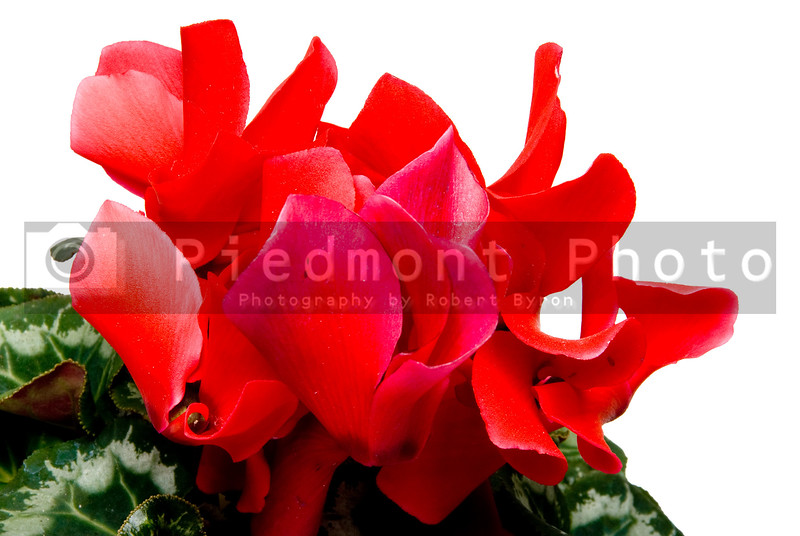 The beautiful and exotic flower known as the Cyclamen