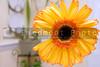 A closeup image of a Yellow Gerberas Daisy