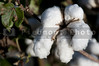 The fluffy bolls of the cotton plant.