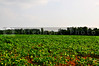 A rural farm lush sprawling soybean field