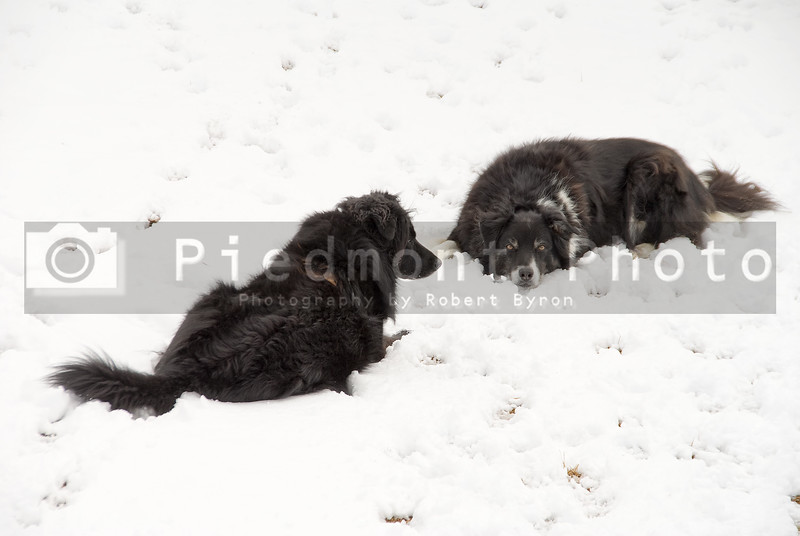 A border collie and a black lab laying in the snow