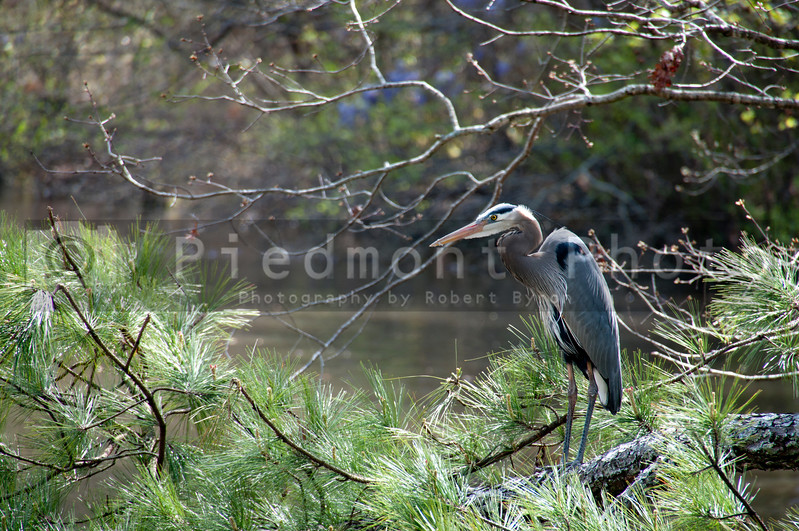 A large Blue Heron bird roosting on a tree branch