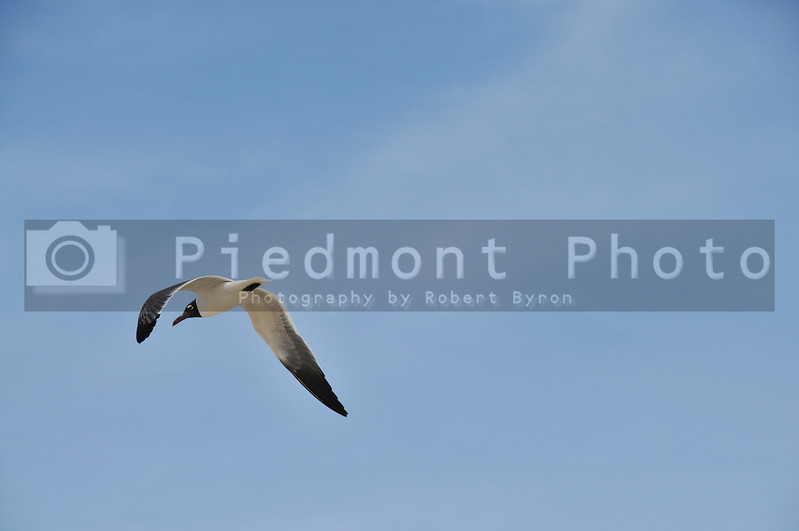 A wild seagull in flight over the sea.