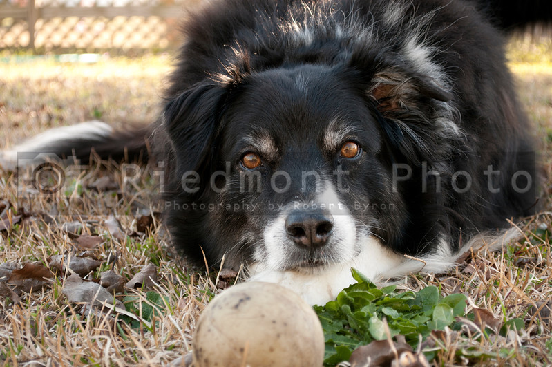A portrait of a full blooded pedigree border collie.