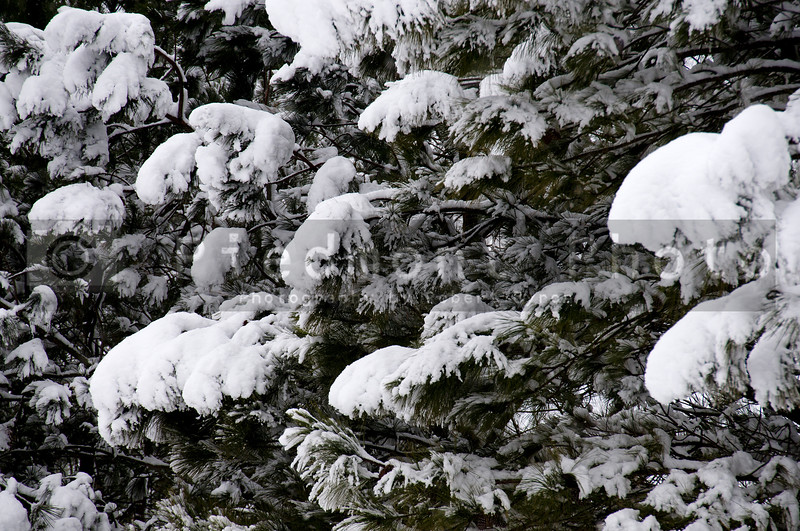 Snow on pines tree after a blizzard