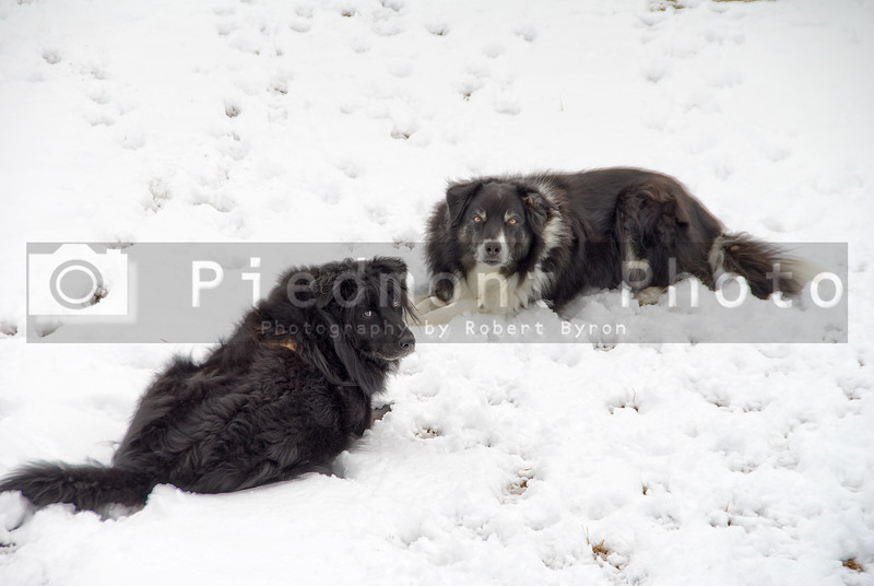 A couple of dogs lounging in the snow