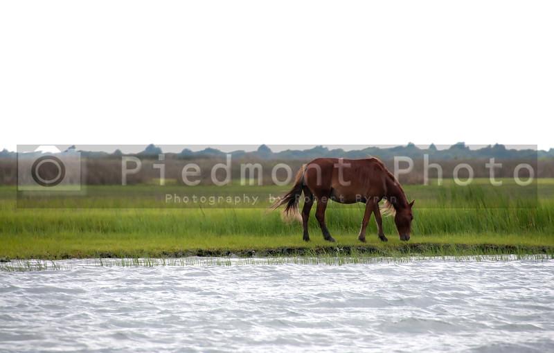 The Wild Horses at Shackleford Banks of North Carolina