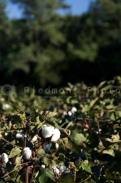 The boll of a cotton plant in a field.