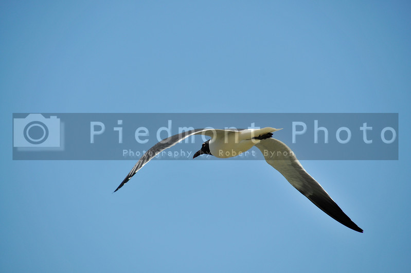 A seagull in flight in the air