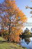 A bright orange tree by a pond in Autumn