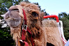 A close-up portrait of a handsome camel