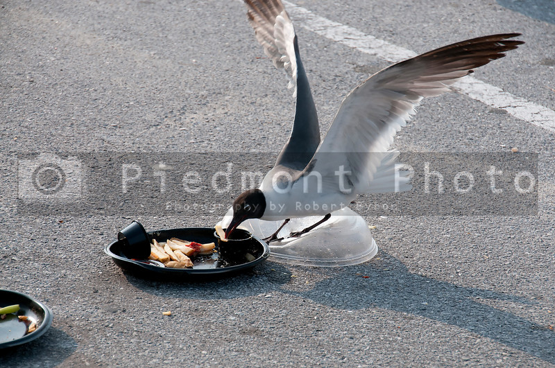 A wild seagull eating leftover garbage and trash
