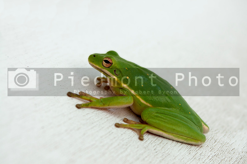 A small green tree frog on a wall
