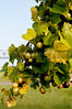 Delicious muscadine scuppernong grapes on a vine